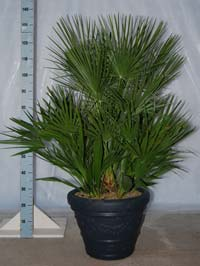Chamaerops humilis 120-140 cm in terras-pot IDRA-45 in antraciet
