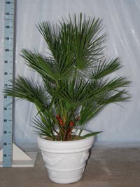 Chamaerops humilis 120-140 cm in terras-pot IDRA-45 in wit