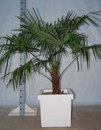 Trachycarpus Fortuneii, palm in pot