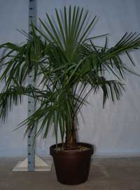 Trachycarpus Fortuneii, franse palm in pot