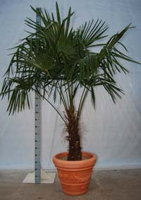Palm in pot - een Franse Tracycarpus Fortuneii